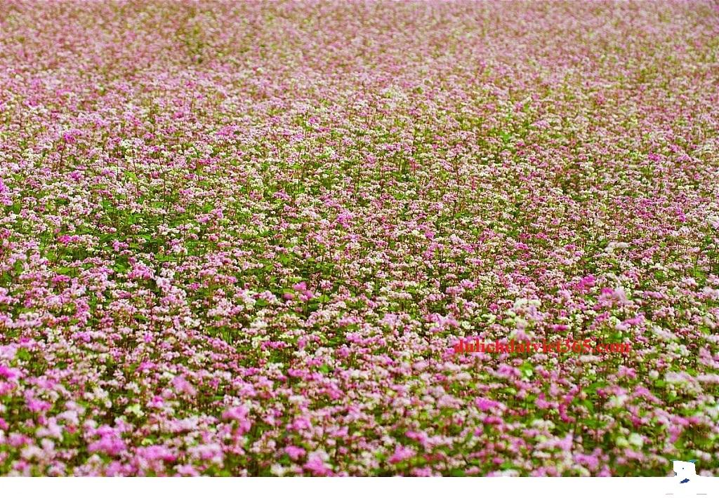 ngàn hoa tam Giác mạch