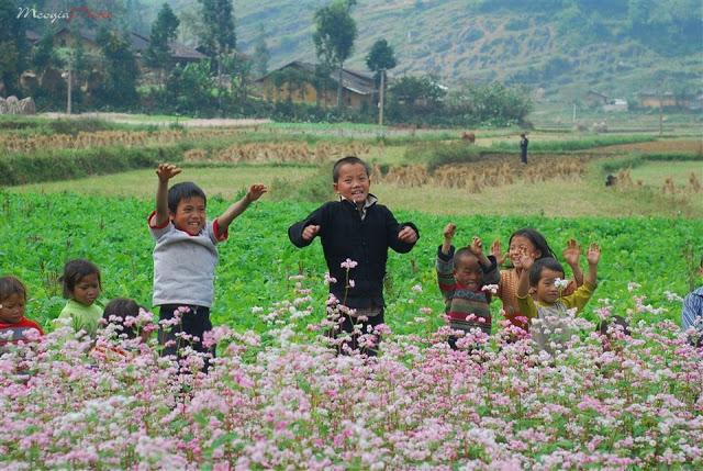 vui mừng hoa tam giác mạch nở