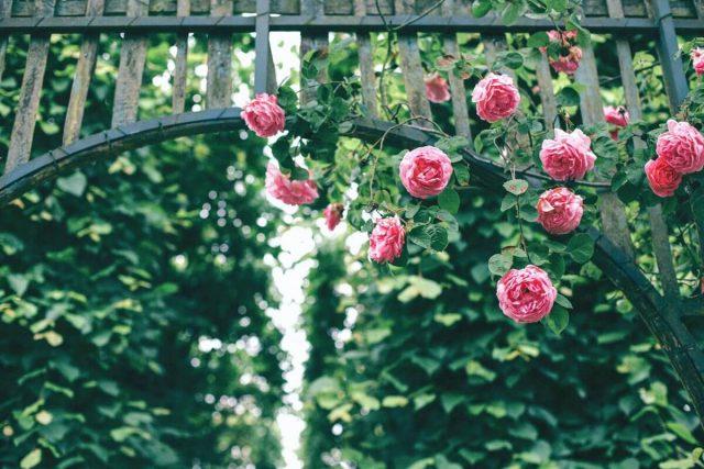 hoa hồng tại công viên