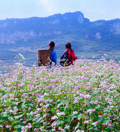 Hoa Tam Giac Mạch trên cao nguyên Đá