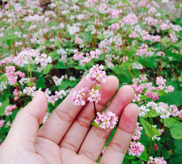 cánh hoa tam giác mạch