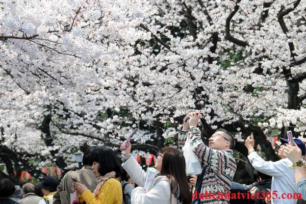 Mùa Hoa Anh Đào Tại Nhật Bản