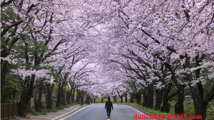 Hàn Quốc Mùa Hoa Anh Đào
