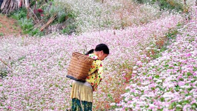 Du Lịch Hà Giang 2 ngày 3 đêm - Mùa Hoa Tam Giac Mạch