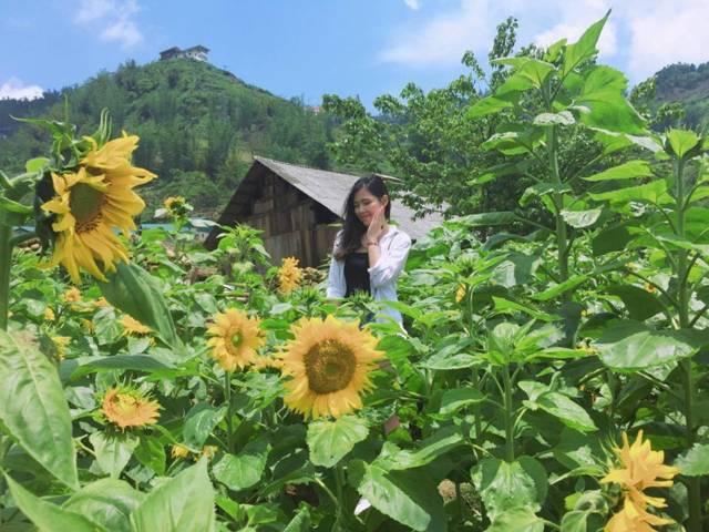 Du Lịch sapa tháng 7 Hoa Hướng dương nở