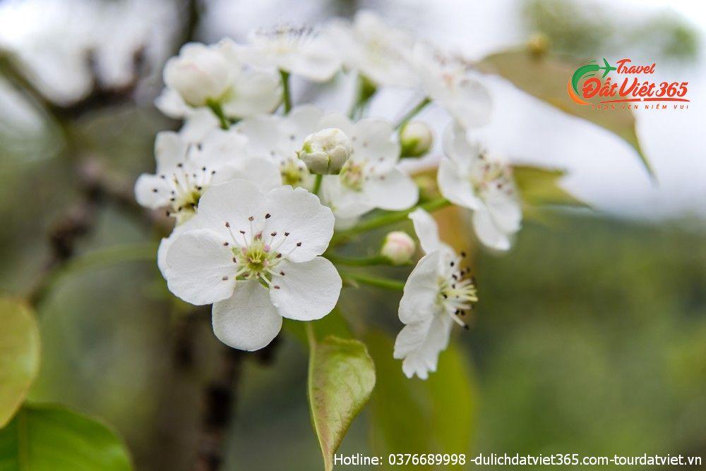 mùa hoa lê tuyên quang